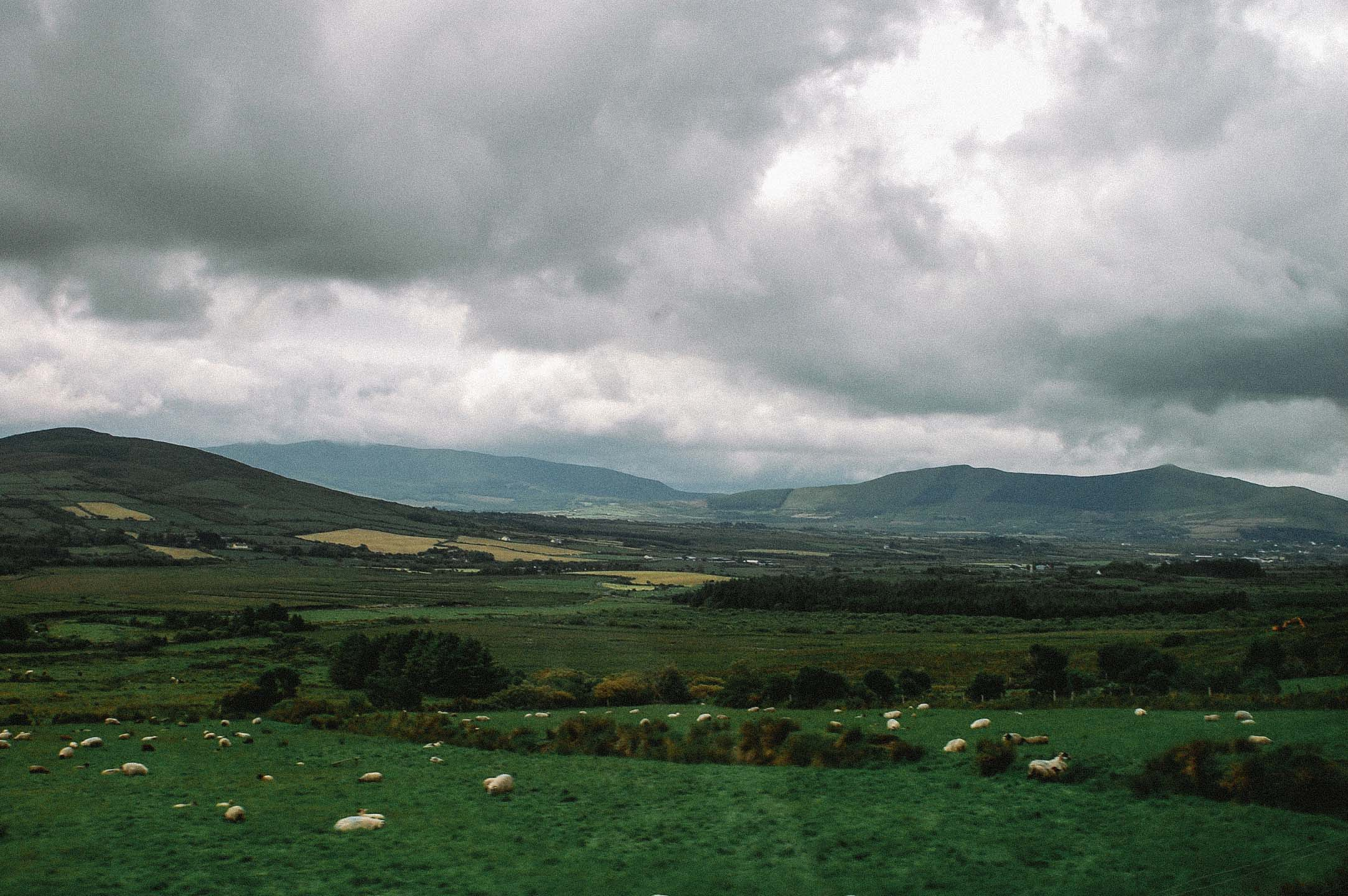 More Cows Roaming Ireland Countryside5287-2.jpg